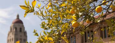 Lemons outside Hoover Tower, courtesy of Stanford News Service