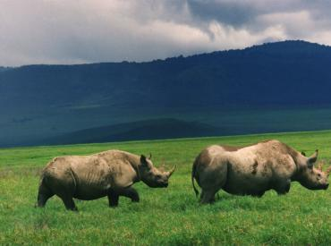 Black rhinos picture, courtesy of en.wikipedia.org